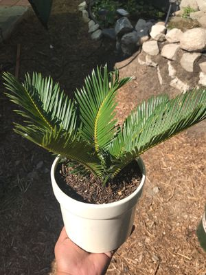 Sago palm for Sale in Glendale, CA