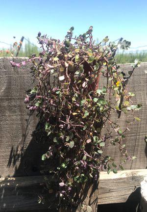 Dwarf Bolivian Wandering Jew Plant for Sale in Dinuba, CA