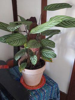 Calathea Indoor Plant for Sale in Denver,  CO