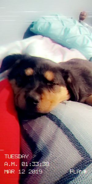 Puppy for Sale in Raleigh, NC