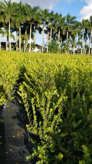 Cocoplom cocoplum 4 and 5 feet tall for Sale in Miami, FL