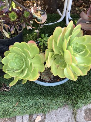Beautiful succulent plants for sale today only 5 dollars each and up pick up North Hollywood for Sale in Los Angeles, CA