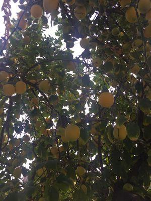 Limones Lemons 5 X $1 for Sale in Los Angeles, CA