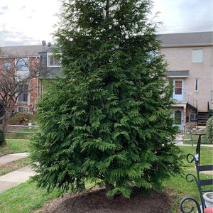 Large Christmas-like tree for Sale (20 Feet) for Sale in Annandale, VA