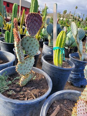 Santa Rita Cactus for Sale in Ontario, CA