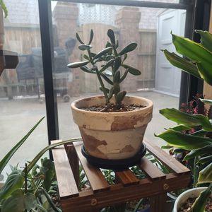 """Hobbit Jade Succulent Plant In 6"""" Pot for Sale in Virginia Beach, VA"""