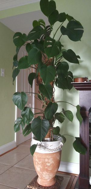 NATURAL PLANT for Sale in Germantown, MD