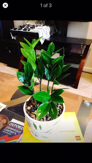 ZZ real live Indoor Houseplant ceramic pot for Sale in Garden Grove, CA