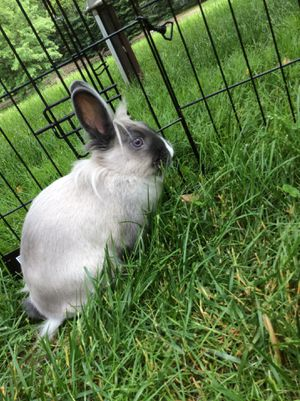 Lionhead Bunny for Sale in Hiram, OH