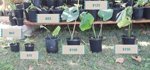 Exotic Rare House plants Variegated for Sale in Dearborn Heights, MI