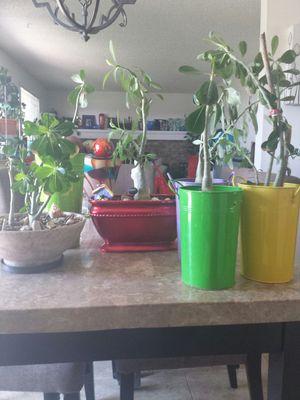 Desert Rosas for sale for Sale in Aurora, CO