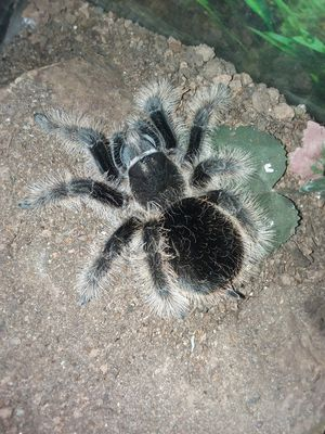 Curly hair tarantula for Sale in Bedford, VA