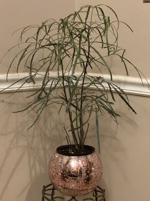 Aralia Plant for Sale in Cleveland, OH