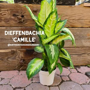 'Dumb Cane' Dieffenbachia Camille Indoor Plant for Sale in San Jacinto, CA