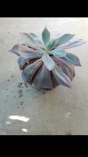 Succulent for Sale in San Diego, CA