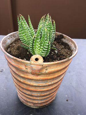 Copper Pot - Zebra Aloe Succulent - House Plant - Specaled White Very Healthy! for Sale in Denver, CO