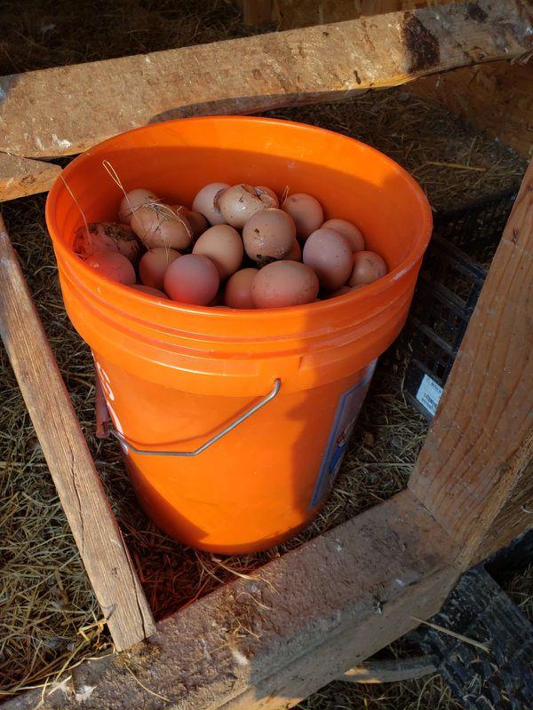 Free range fresh brown eggs ( Huevos Frescos )