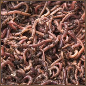Red wiggler worms for Sale in Portland, OR