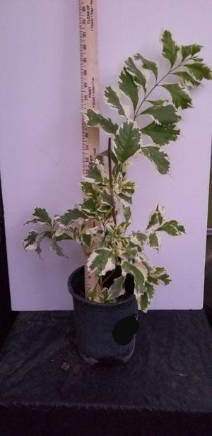 Varigated Golden Dew drop Duranta Plant for Sale in Claremont, CA