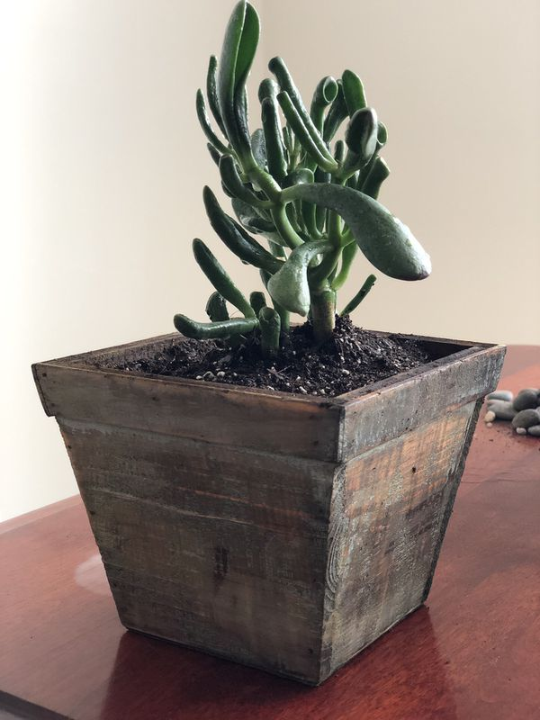 Trumpet Jade Succulent - Silver Spring (Pick Up Only)