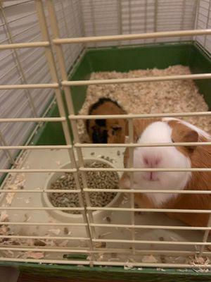 2 female guinea pigs FREE for Sale in Spokane, WA