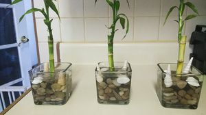 Real Bamboo plant's for Sale in Phoenix, AZ