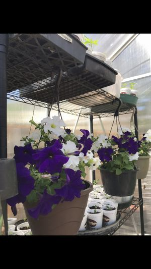 Beautiful mix colors of petunia flowers on hanging pots for Sale in Aurora, CO
