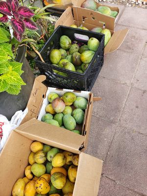 Mangos for sale for Sale in LAUD LAKES, FL