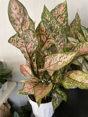 Real Chinese evergreen valentine 6 inch for Sale in Rancho Cucamonga, CA