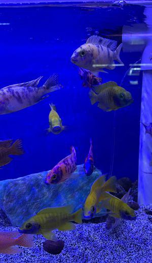African cichlids for sale for Sale in Loma Linda, CA