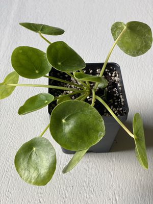 Stunning Chinese Money Plant Live for Sale in Jacksonville, FL