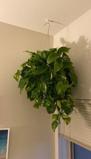 Hanging Plant for Sale in San Diego, CA