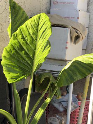 Elephant plant for Sale in Santa Ana, CA