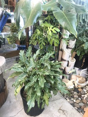 Plants (3gallons pot Philodendron Xanadu $15) I have 6 of them for Sale in San Diego, CA