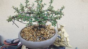 Bonsai plant cotonester,red berries cherry like for Sale in Fresno, CA