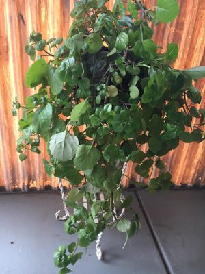 Plant for Sale in Colorado Springs, CO