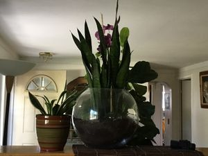 Live Plant Mother-in-law's tongue for Sale in West Bloomfield Township, MI