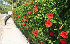 Hibiscus Bushes Free, for Sale in Santa Ana, CA