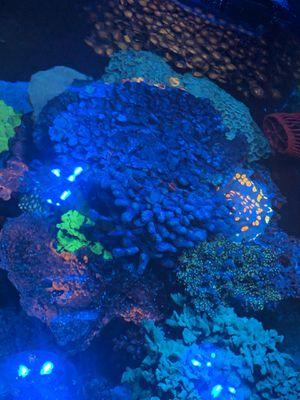 Sps coral for Sale in Addison, IL