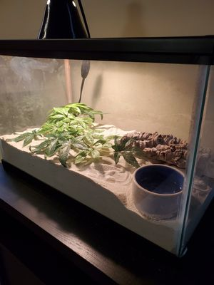 Kenyan Sand Boa and Enclosure for Sale in Indianapolis, IN