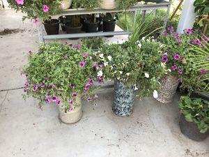 Casanovak plants for Sale in Las Vegas, NV