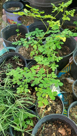 Moringa for sale for Sale in Mesa, AZ