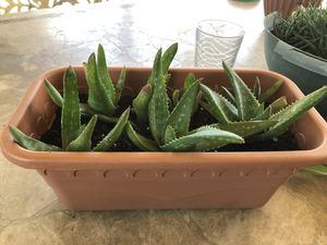 Succulent plant for Sale in Bloomington, CA