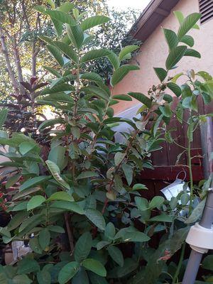 Arbol de guayaba muy dulce for Sale in Riverside, CA