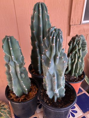 Cactus Plants Cereus Peruvian Apple Monstrose Shipping Available for Sale in Chandler, AZ