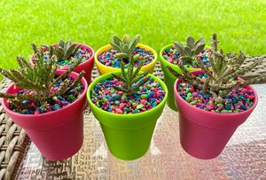 Succulents in mini pots for Sale in Manvel, TX
