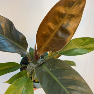 "Philodendron Red Congo 6"" for Sale in Orlando, FL"