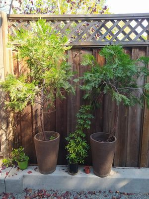 2 big cypresses and two plants for Sale in Campbell, CA