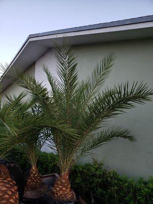 Sylvestor Date palm (Field grown) for Sale in Fort Pierce, FL