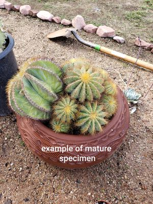 Notocactus Magnificus Cactus (4 inch pot size) for Sale in March Air Reserve Base, CA